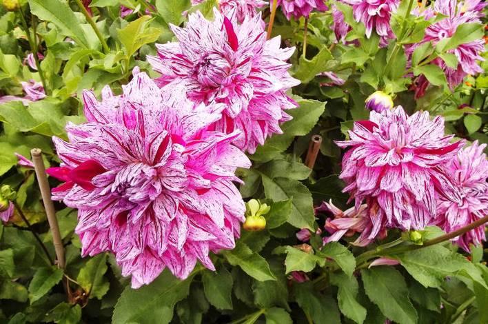 Dahlienschau im Britzer Garten
